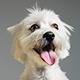 Un adorable perro de pelo blanco con la lengua afuera